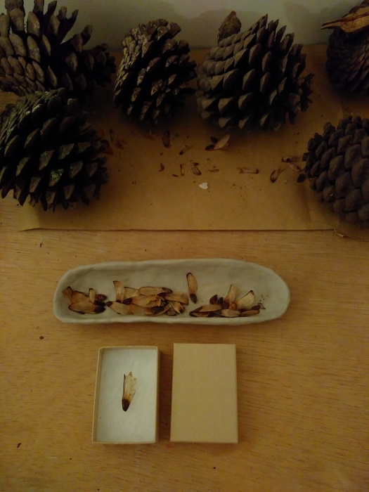 Cones and Seeds from the Suffragette Tree with Dish