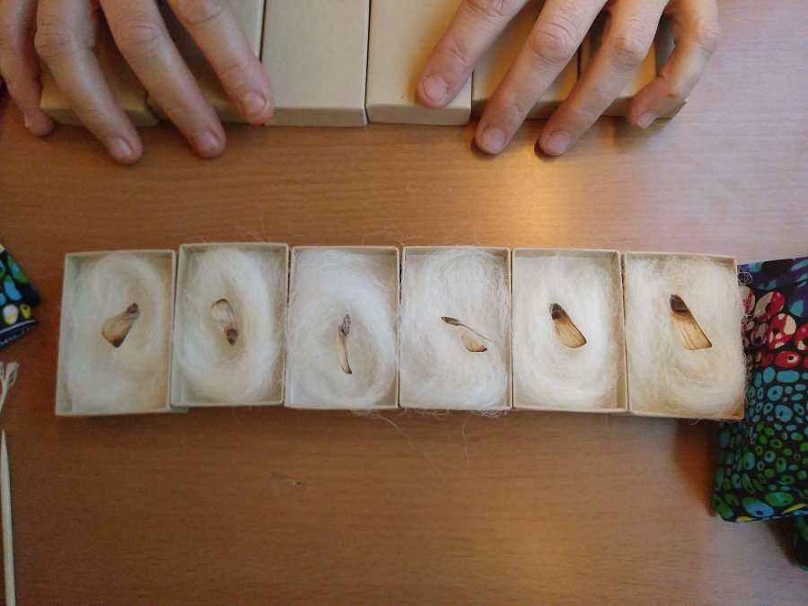 Six boxes containing cotton wool and one seed each on a fake wood. there are a pair of hands holding more boxes at the top of the image.