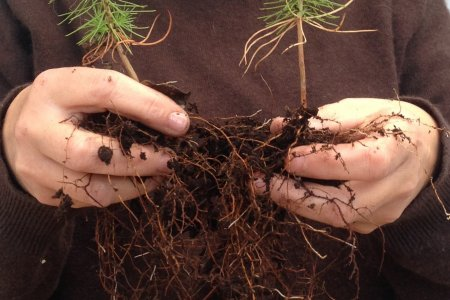 hands holding two little trees with roots and soil