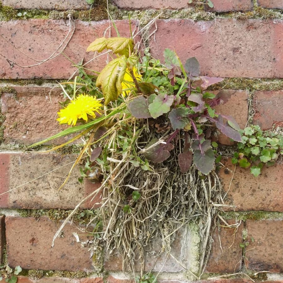 Close-up image of a brick wall with a range of self-seeded plants growing together from a crack in the wall. The self-seeded plants include a bright yellow dandelion on the left, a small tree sapling in the middle and dried grass at the bottom.